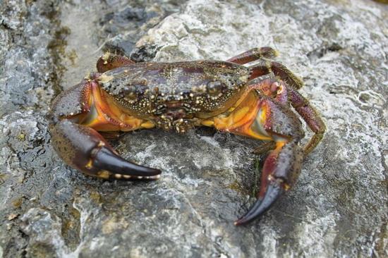 С помощью акваскопа снят краб. Правда, сначала он был пойман и посажен неглубоко под воду