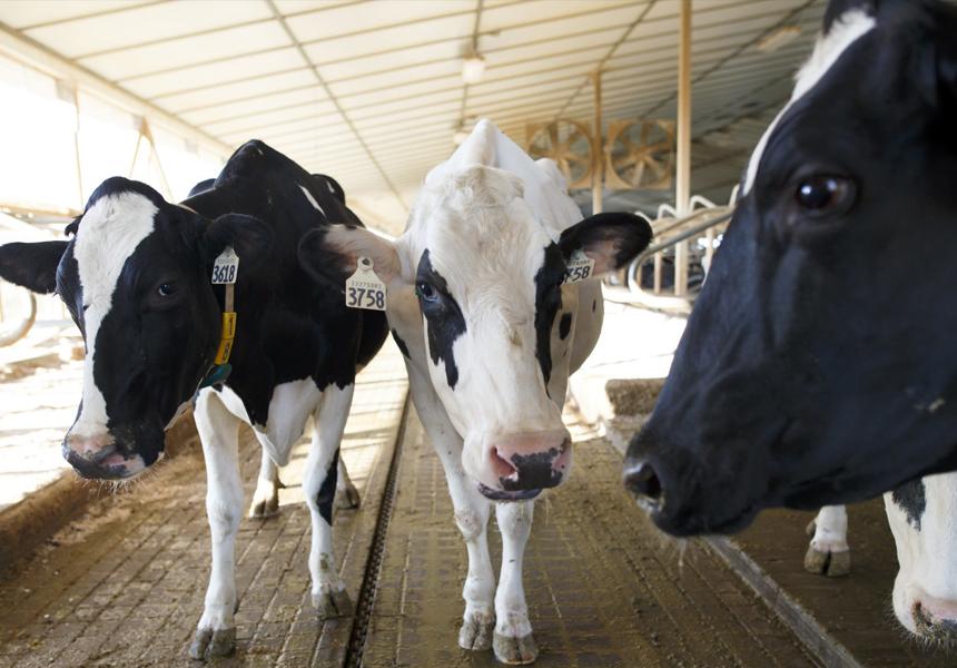 5G-ошейники помогли доить коров