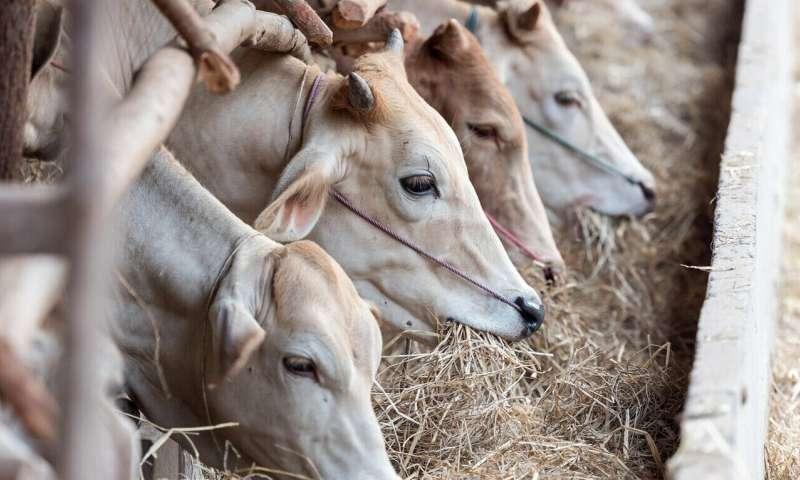 Коровы могут вызвать экологическую катастрофу