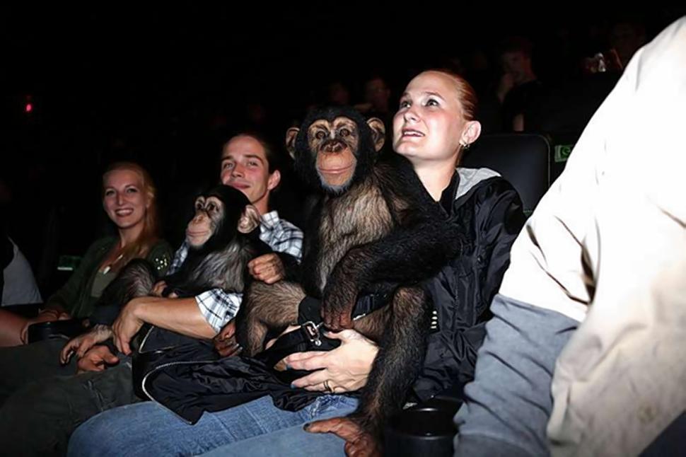 Ученые выяснили, что просмотр кино сближает шимпанзе