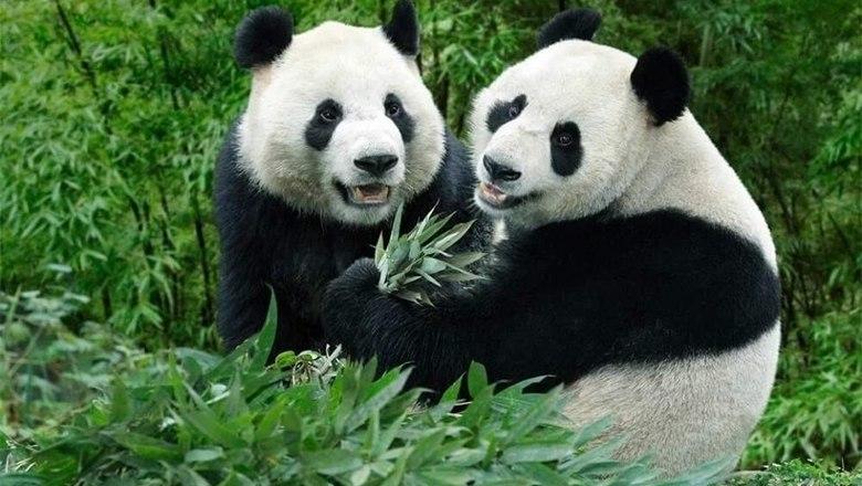 китайские ученые спасут вымирающих животных помощи клонирования