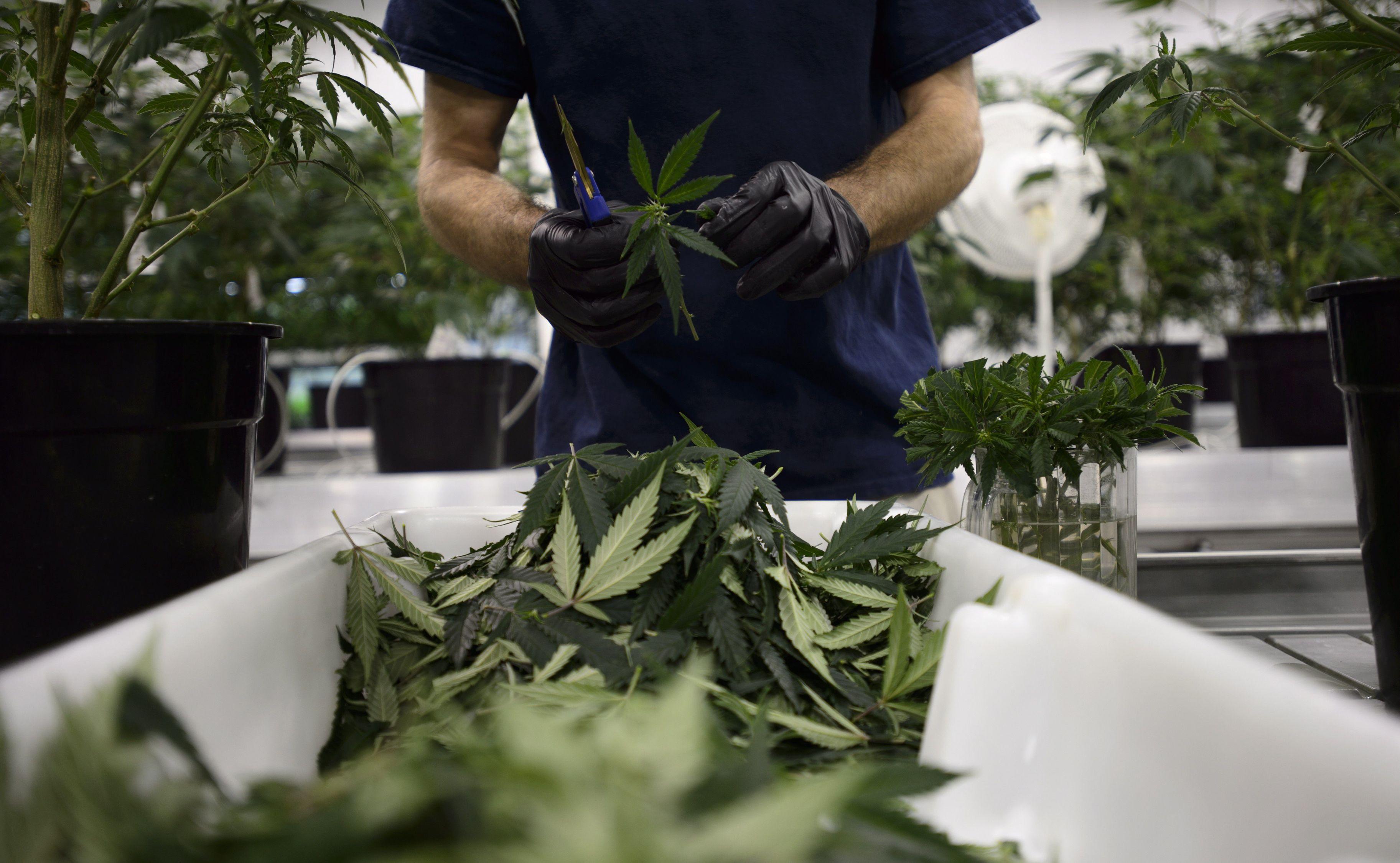 Учёные опровергли, что легализация марихуаны снижает количество преступлений