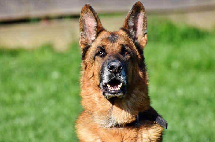 Погибла первая собака с подтвержденным коронавирусом