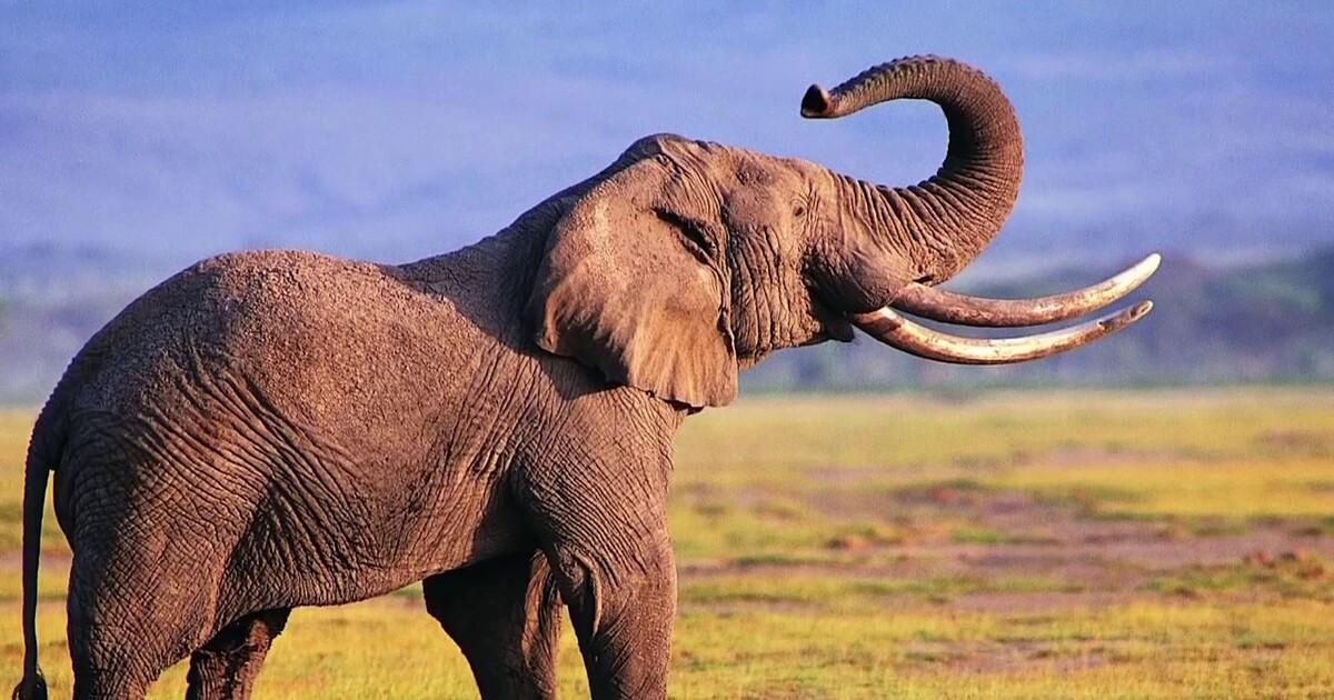 Конопля слон купить марихуану в могилеве