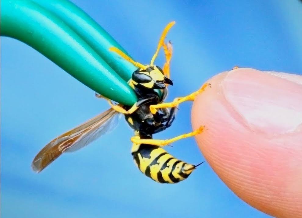 Создан антибиотик на основе яда осы