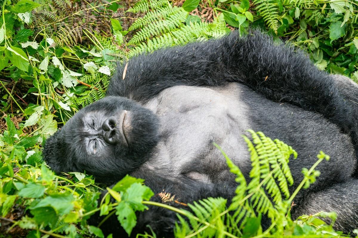 Зафиксирован первый случай заражения гориллы COVID-19