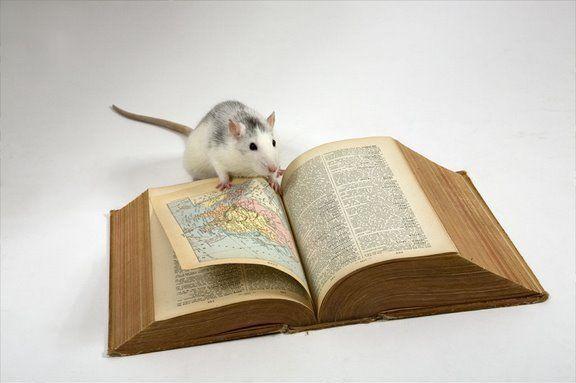 Длительное проживание мышей с человеком сделало их умнее