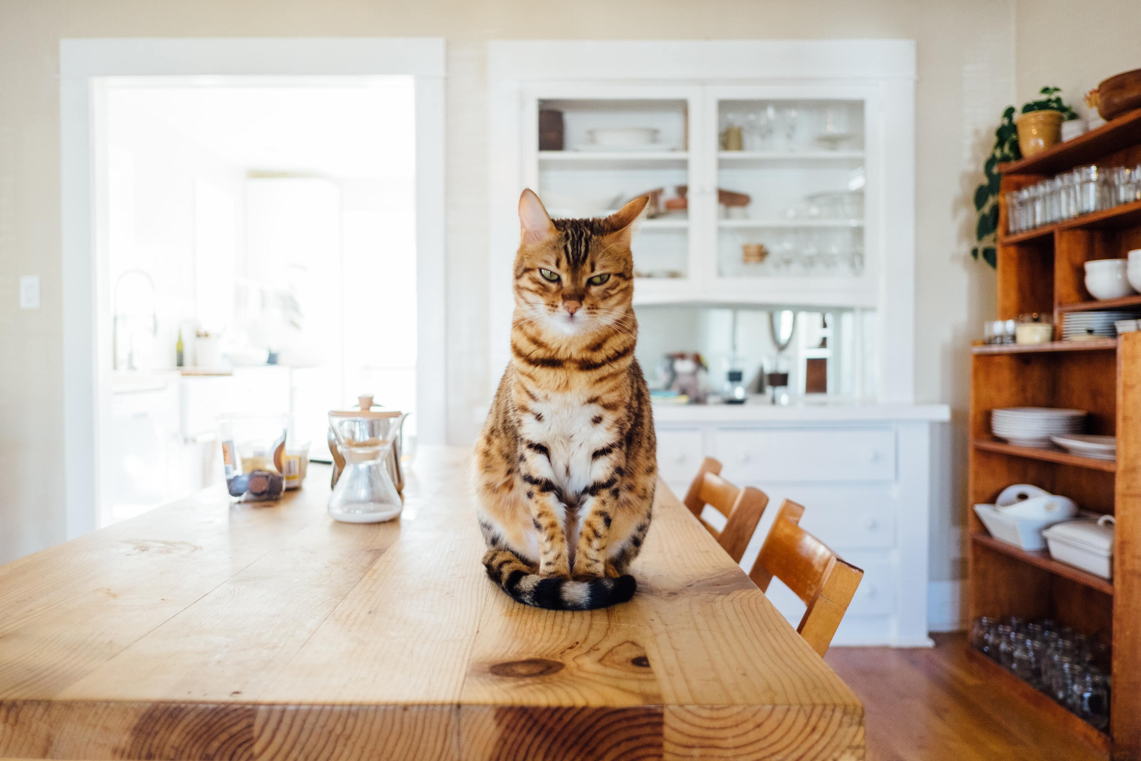 Кошки провалили научный тест на преданность хозяину