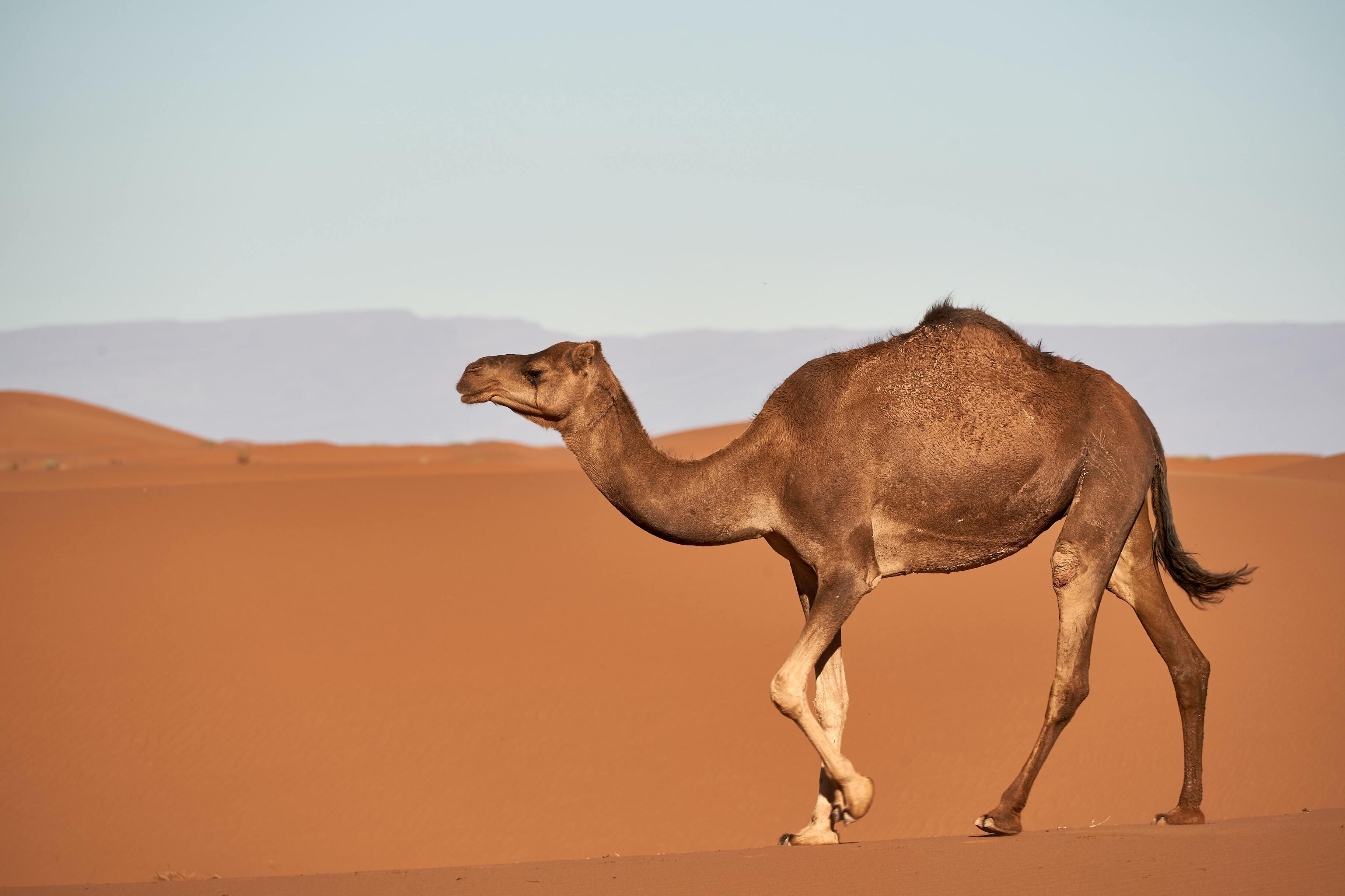 Учёные нашли 2000 пластиковых пакетов внутри верблюда