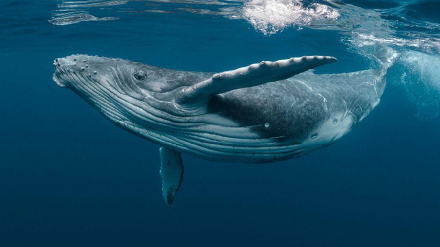 Язык общения китов расшифруют с помощью искусственного интеллекта
