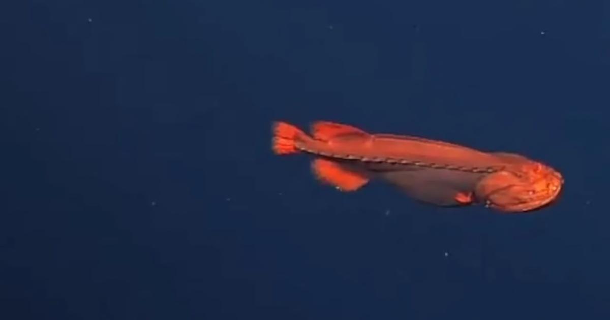 Редкая рыба-оборотень попала на видео учёных