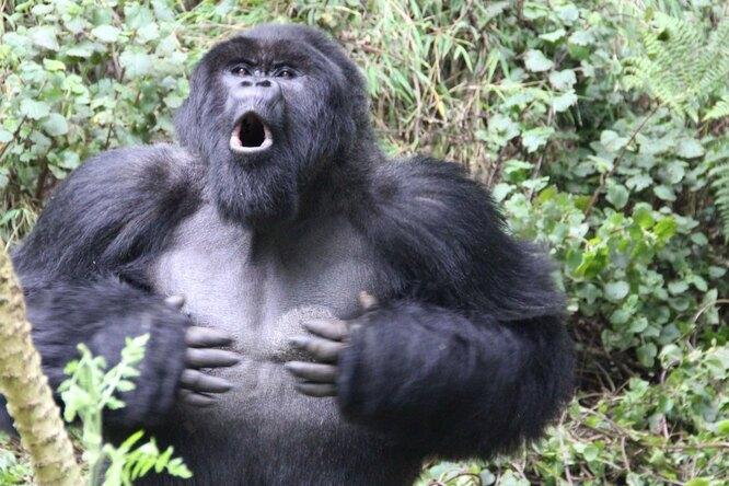 В США произошло массовое заражение горилл COVID-19