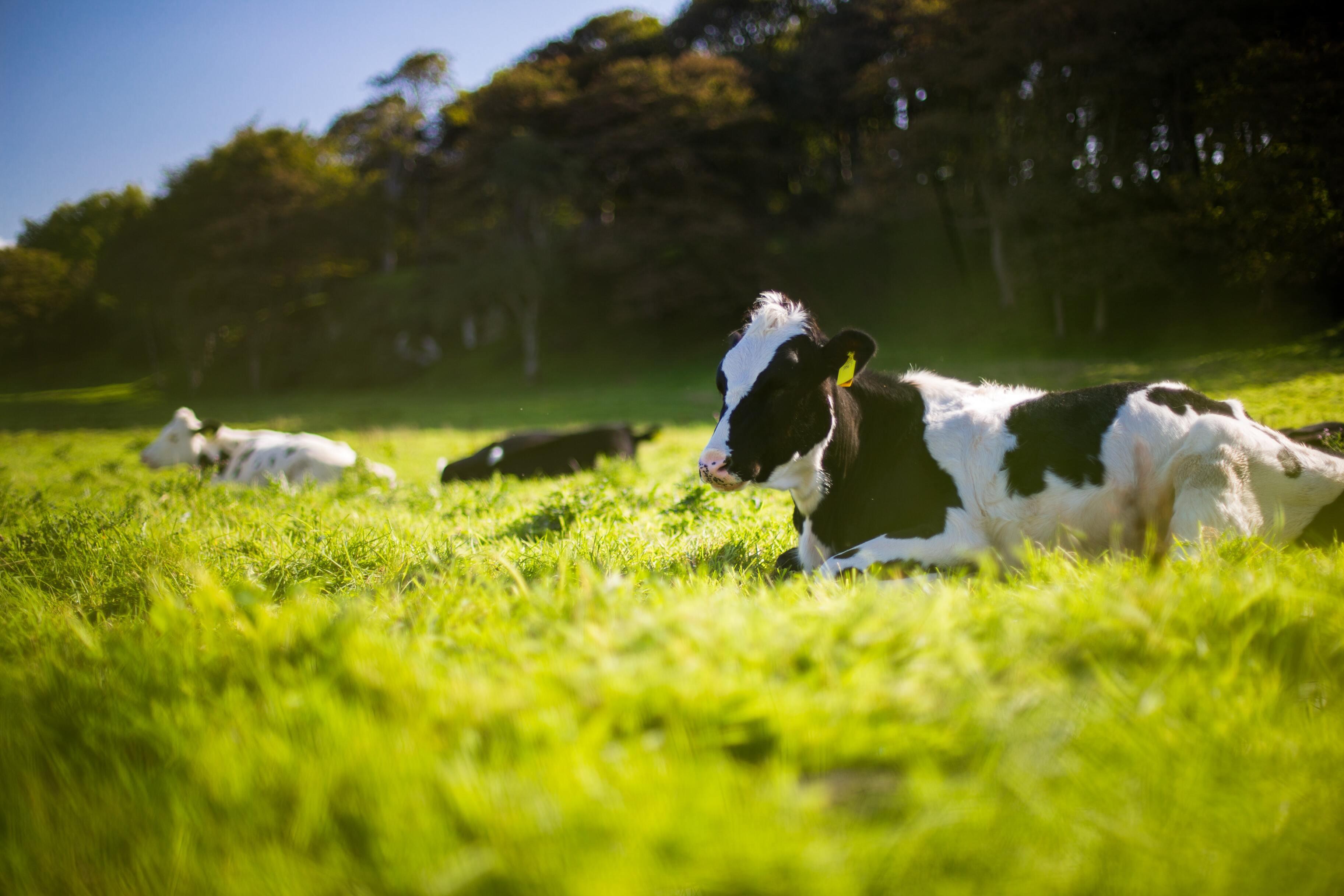 Учёные впервые смогли приучить коров к туалету
