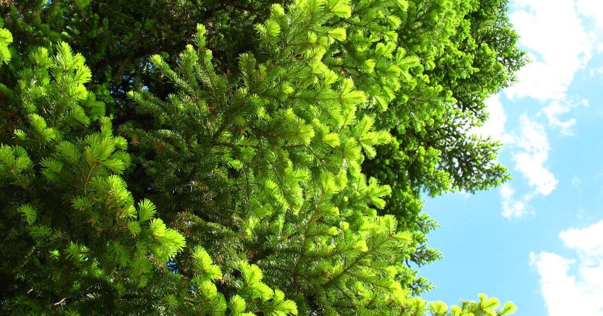 Исследователи обнаружили омолаживающие свойства сибирской пихты